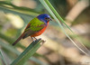 Painted Bunting (Nick Scobel) Tags: passerina ciris painted bunting rainbow colors florida green cay passerine songbird gorgeous birding