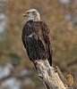 Observing his new found territory (Beth Sargent) Tags: bald eaglebird prey raptor bird hunter lake nature wildlife