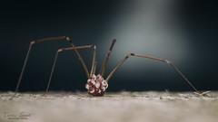 Five legs mother (Erdész Levente) Tags: spider macro sigma harvester opiliones ovum