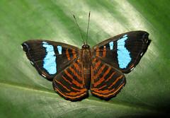 Argyrogrammana glaucopis (Camerar 4 million views!) Tags: argyrogrammanaglaucopis butterfly peru riodinidae butterflies insect