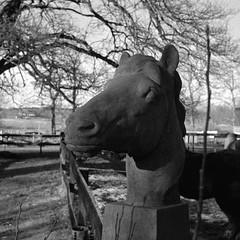Iron horse (Rosenthal Photography) Tags: treu isländer farven bnw schwarzweiss reiten 35mm weihnachtsfeier asa400 20171202 familie ff135 pferdekopf müllershoff weihnachten femke ilfordhp5 rodinal150 olympus35rd analog bw mood autumn nature blackandwhite olympus olympus35 35rd fzuiko zuiko 40mm f17 ilford hp5 hp5plus rodinal 150 20°c 11min epson v800 ironhorse iron horse