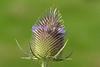 _DSC8515 Grote Kaardebol / Wild teasel (Gert-Paassen) Tags: flower bloem kaardebol plant macro 105mm nikkor nikon d750 nederland flevoland emmeloord niederlande netherlands beschermd protected distel puple paars honey honing bee bij teasel