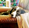 Just Chillin...To cold to chase squirrels. (lillypotpie) Tags: bindi bordercollies winter chillin expression eyes dogs