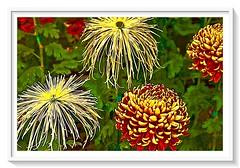 Chrysanthemums! (Spiro Anassis) Tags: vibrant flower leica sanassis
