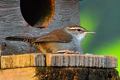 "Bewick's_Wren_02 (DonBantumPhotography.com) Tags: wildlife nature animals birds bewickswren ""donbantumphotographycom"" ""donbantumcom"" ""nikon d7200"" ""afs nikkor 200500mm f56e ed vr"""