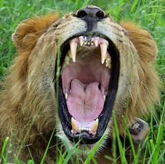 Lion 1 GNP (zimbart) Tags: mozambique africa gorongosanationalpark fauna vertebrata mammals carnivora felidae panthera pantheraleo
