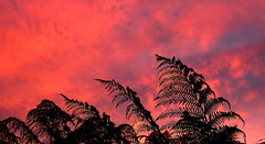 SILHOUETTE SUNSET (Lani Elliott) Tags: nature naturephotography lanielliott scene scenic view sky skies clouds sunset silhouette silhouettes ferns treeferns pink black bright colour color colourful fantastic awesome beautiful excellent brilliant gorgeous wonderful sundaylights wow