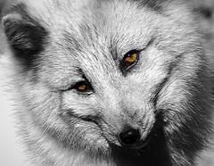 Harley, rest in peace (ucumari photography) Tags: ucumariphotography arcticfox blue gray grey vulpeslagopus animal mammal nc north carolina zoo specanimal