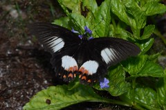 Papilio ambrax ambrax, female (Pasha Kirillov) Tags: indonesia geo:country=indonesia rajaampat lepidoptera taxonomy:order=lepidoptera butterfly papilionidae taxonomy:family=papilionidae