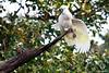 Having a stretch (edzwa) Tags: cockatoo bird wildlife australianwildlife sulphurcrestedcockatoo sundaylights