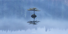'Disembodied' - Fairy Tree. Fairy Lake, Vancouver Island (Gavin Hardcastle - Fototripper) Tags: gavinhardcastle fototripper vancouverisland fairy lake tree reflections mist misty cold winter moody blue hour
