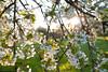 Cherry Blossoms (Enaruna) Tags: 24mm 24mmf14 24mm14 ast badenwuerttemberg badenwürttemberg baum blooming blossoming blossoms blühend blüten branch branches bäume cherryblossoms deutschland flowering fruittreeblossoms frühling germany kieselbronn kirschblüten light obstbaumblüte obstbaumblüten obstblüte obstblüten pflanze pflanzen plant plants sonnenlicht sonnenschein sonnenuntergang spring sunlight sunset sunshine tree trees zweige äste