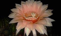 El embrujo de la noche (mnovela2293) Tags: echinopsis eyriesiisalmon cactácea cactus flower