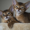 Ruddy Brothers 1 (peter_hasselbom) Tags: cat cats abyssinian ruddy usual kitten kittens 9weeksold 2cats twocats 2kittens naturallight 50mm f14