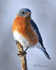 Eastern Bluebird (BEElwood) Tags: platinumheartshalloffame citrit eastern bluebird ohio songbird nikon d500 nikkor 200500mm f56 platinumheartawards ruralohio logan county soe shield excellence