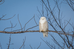 Squinting Snowy (murf50) Tags: ontario owensound paulmurphy bird birds feathers nature owl raptor snowyowl wildlife wings