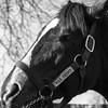 War Front (sniggie) Tags: bourboncounty clairbornefarm kentucky paris bayhorse championsire horse horsefarm stallion thoroughbred monochrome bw blackwhite harness racehorse