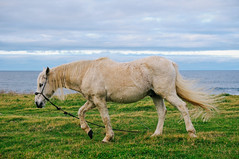 Terceira Island, Azores (Gail at Large | Image Legacy) Tags: 2017 azores açores ilhaterceira portugal terceira gailatlargecom horse