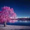 SCN1561 (Doug Golupski) Tags: hasselblad 500c slidefilm colorinfrared colorir infrared ir film fpp filmphotographyproject kodak aerochrome newzealand