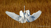 Great Egrets (Bob Gunderson) Tags: alamedacounty ardeaalba arrowheadmarsh birds california eastbay egrets greategret northerncalifornia wadingbirds
