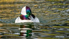Bufflehead (m) (Bob Gunderson) Tags: birds bucephalaalbeola bufflehead divingducks ducks seaducks goldengatepark stowlake sanfrancisco