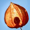 Dans ma cage dorée, je vois l'hiver ! (watbled05) Tags: exterieur plante macro végétaux texture physalis fruit