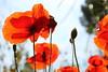 Las rojas efímeras (Violeta G.) Tags: rojas amapolas plantas campo silvestre primavera florecer
