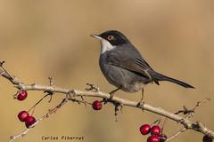 Tallarol capnegre, Curruca cabecinegra, Sardinian Warbler (Sylvia melanocephala) (Carles Pibernat) Tags: