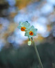 Narcissus (shinichiro*@OSAKA) Tags: 20171223sdqh2793 2017 crazyshin sigmasdquattroh sdqh sigma1835mmf18dchsm december winter tokyo japan 葛西臨海公園 日本水仙 narcissus 39249368091 2199675 201801gettyuploadesp