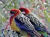Lorikeet Pair (mikecogh) Tags: regencypark lorikeets pair couple pretty australian native parrots patterns