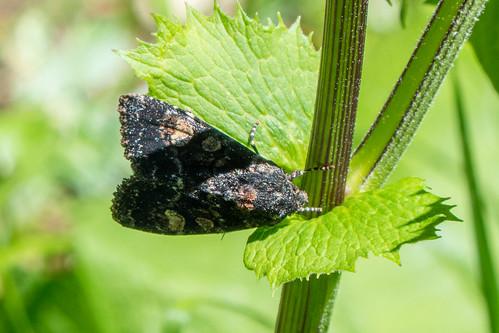 Apamea rubrirena (TREITSCHKE, 1825) - Schwarzweiße Grasbüscheleule  - 20170703 - P1110110