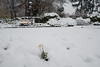 Un fiore tra la neve - A flower in the snow. (sinetempore) Tags: unfioretralaneve aflowerinthesnow margherita daisy neve snow torino turin parcodelvalentino lapanchinadegliinnamorati fiore flower