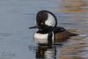 Male Hooded Merganser (Carol Huffman) Tags: birds hoodedmerganser male vierawetlands fl water wildlife