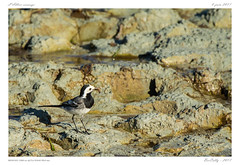 Bergeronnette grise | Motacilla alba | White Wagtail (BerColly) Tags: france auvergne puydedome allier riviere river oiseau bird insecte insect bercolly google flickr
