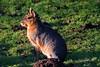 Mara (Pantagonian hare.) (petershaw4) Tags: mara standing guard near its burrow dolichotispatagonum patagonianmara patagoniancavy