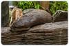 Asian Small Clawed Otter (Aonyx cinerea) (Craig Jewell Photography) Tags: aonyxcinerea asiansmallclawedotter australia australiazoo beerwah mustelid otter queensland steveirwin zoo f40 100300mm ¹⁄₃₂₀sec canoneos1dmarkiv iso1600 137 20171228101704x0k00642cr2 noflash ‒1ev