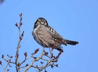 Chouette Épervière - Northern Hawk Owl