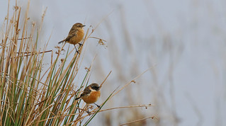 Mr and Mrs Stonechat