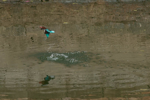 Martin pêcheur à Champaner, Gujarat, Inde