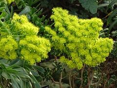 340/365 December (SandraOp27no2) Tags: kew365 flower aeonium conservatory kewgardens