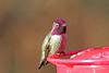 Anna's Hummingbird 17-1231-0461 (digitalmarbles) Tags: annashummingbird annas hummingbird male calypteanna apodiformes colorful colourful brilliant shiny sheen iridescent macro nature wildlife animal bird birder birdphoto birdphotography wildlifephotography reifel sanctuary reifelsanctuary deltabc lowermainland bc britishcolumbia canada canoneosrebelt7i canon