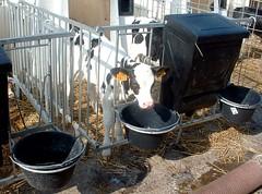 Veau (Dedettelle) Tags: animal veau betail