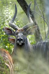 Nyala bull pic A Rorvik