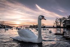 Swan approaching (Lealtadpics) Tags: coantrim fujifilm xt2 water loughneagh sunset birds swan