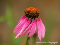 Pink petals (Anna Calvert Photography) Tags: environment floral flowers garden macro macrophotography mygarden plants pink