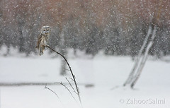 Himalayan owl (Zahoor-Salmi) Tags: zahoorsalmi salmi wildlife pakistan wwf nature natural canon birds watch animals bbc flickr google discovery chanals tv lens camera 7d mark 2 beutty photo macro action walpapers bhalwal punjab