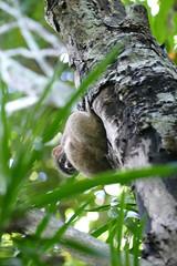 Lokobe National Park lemur