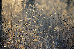 choose your focus (christiaan_25) Tags: wildbergamot beebalm flowers wildflowers seedheads stems plants winter light shadow glow backlit nature bokeh outside outdoors field meadow explore