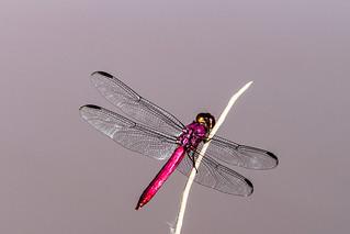 Inseto libélula