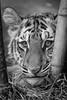 Moka (ToddLahman) Tags: moka bengaltiger bengal beautiful male tiger tigers tigertrail tigercub sandiegozoosafaripark safaripark canon7dmkii canon canon100400 closeup mammal